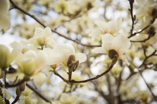 Keuken foto achterwand Magnolia magnolia