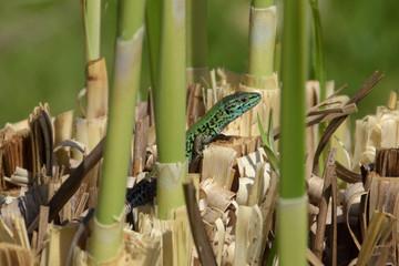 green lizard marshes
