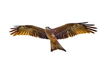 Flying Yellow-billed kite