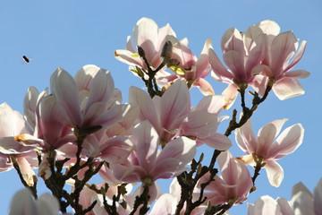 Magnolienblüten im Sonnenlicht