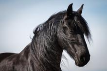 Portrait cheval frison beauté