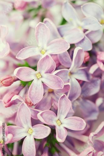 Plexiglas Lilac lilac isolated on white