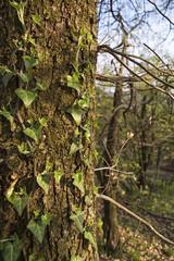climbing plant on the bark