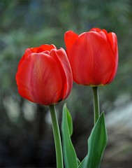 Detailed view on the red flowering tulip