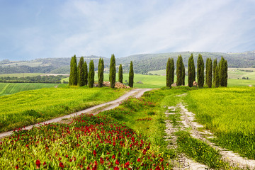 Italian summer landscape with cypresses and bright red flowers