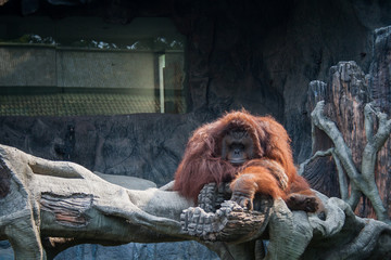 Orangutan lying on the rock
