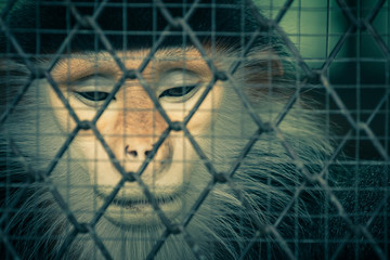 Crying monkey behind the cage, Process with filter