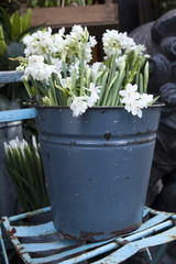 Spring planting daffodils in the pail