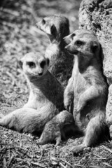 Family of meerkats with a small baby suckled