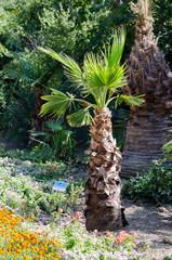 Washingtonia filamentous