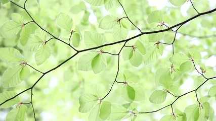 Very bright green spring beech branch with leaves in wind