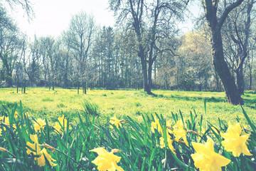 Frühlingswiese mit Narzissen