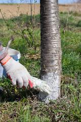 Gardener Whitening Tree Trunk