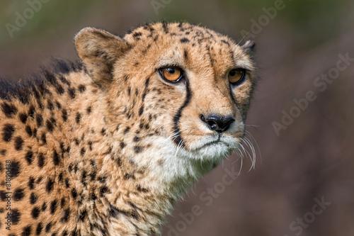 Keuken foto achterwand Puma cheetah - Acinonyx jubatus