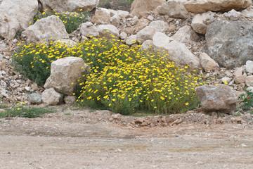 yellow daisies on the rocks, horizontal