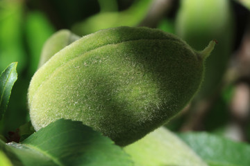 Unripe green almonds macro. Horizontal