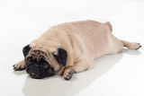 Fat pug lying on ground