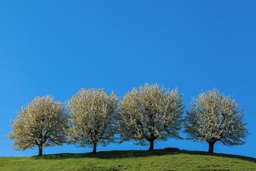"Blossoming cherry trees. Fricktaler ""Chriesiwäg"""
