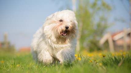 Coton de Tulear running and playing in a meadow