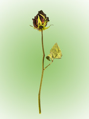 Dried rose on green background