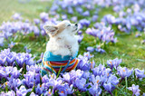 Chihuahua dog dreaming among purple crocus flowers