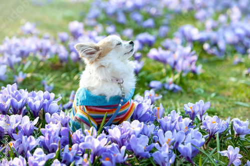 Foto op Plexiglas Krokussen Chihuahua dog dreaming among purple crocus flowers