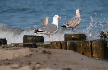 Silbermöwen an der Ostsee