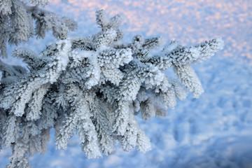 Frosty fir twig at sunset