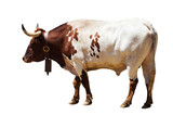 Standing adult bull. Isolated over white