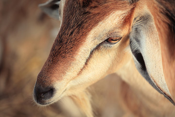 Antelope's eye.