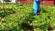 farmer spray fertilizer on potato for better growth
