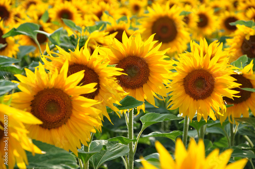 Sunflowers - 81908207