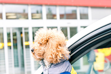 poodle looking out of car window and waiting for the owner