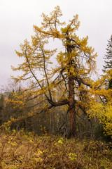 Autumn larch