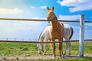 Beautiful Pair of Horses on the Animal Farm