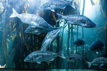 Big fish swimming in a tank