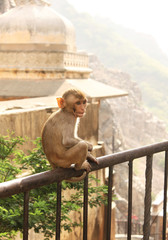 Monkey in Indian temple