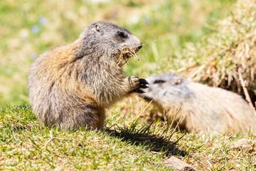 cuccioli di marmotta delle alpi
