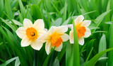Yellow and white narcissuses in a garden
