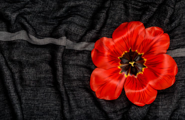red tulip close-up  on the black  fabric
