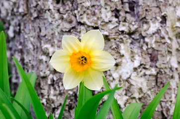 Yellow narcissus - one of the first spring flowers