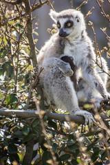 mamma e cucciolo di lemure