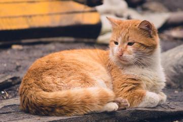 One orange cat