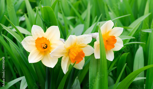 Aluminium Narcis Yellow and white narcissuses in a garden