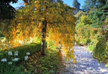Weeping golden yellow foliage in Autumn