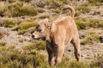 isolated brown calf