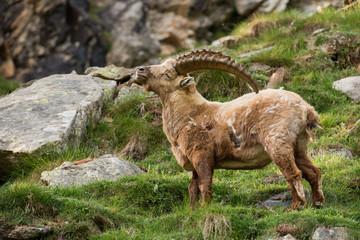 Deer ibex long horn sheep Steinbock