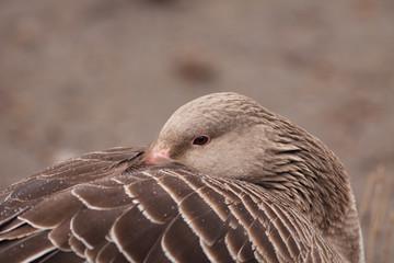 grey goose (Anser anser)