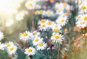 Daisy flowers - little spring daisy flowers
