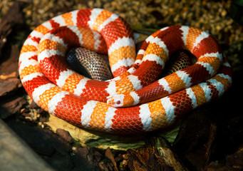Гондурасская молочная змея